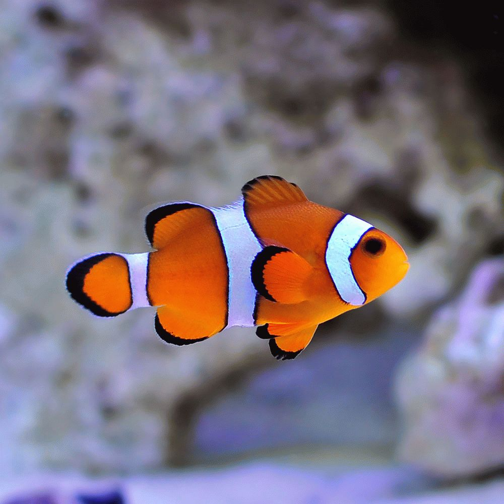 Плавающая рыбка - программа Clownfish