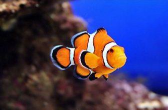 Clownfish для скайп